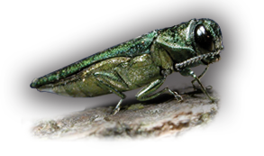 Emerald ash borer control, ash tree borer treatment